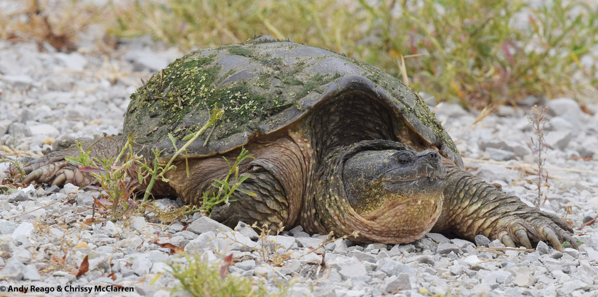 https://commons.wikimedia.org/wiki/File:Snapping_Turtle_(34974955286).jpg