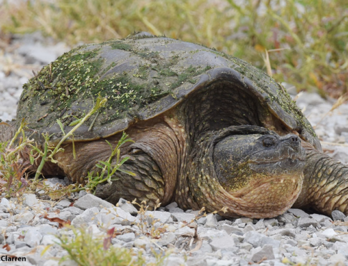 Critter Corner: Snapping Turtles
